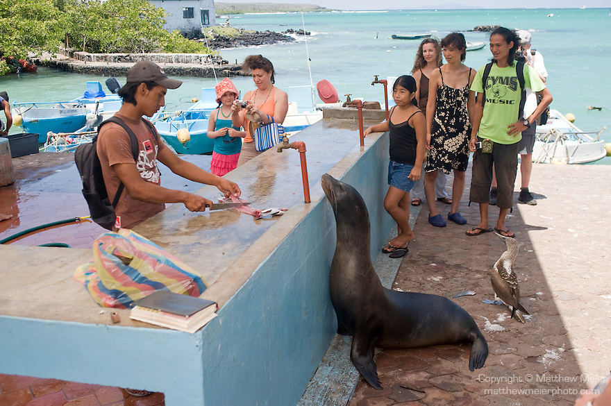 Puerto Ayora, Santa Cruz Island, Galapagos, Ecuador; a Galapagos Sea Lion (Zalophus wollebaeki) waits to be fed the scraps from fishermen cleaning and fileting fish at the fishing pier at Pelican Point , Copyright © Matthew Meier, matthewmeierphoto.com All Rights Reserved