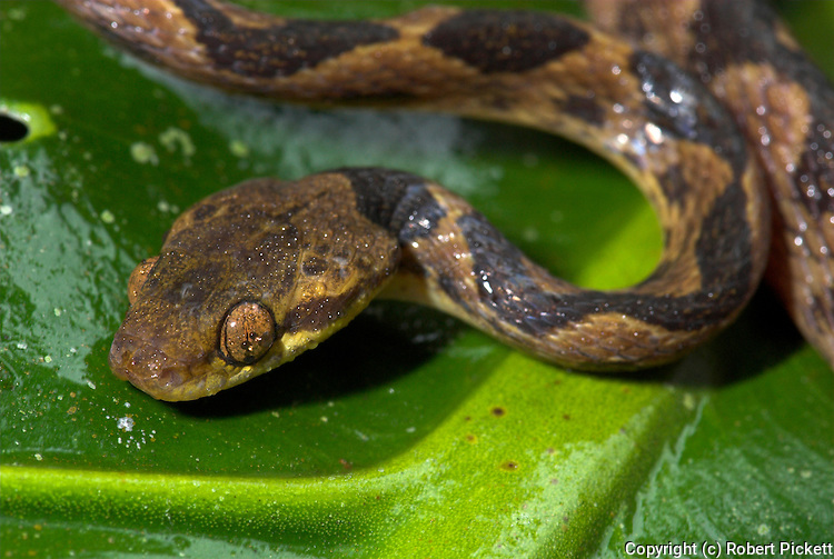 Northern Cat Eyed Snake, Leptodeira septentrionalis, Non venomous, Nocturnal, ponds, eat lizards and snakes, but they seem to prefer the eggs and the adult tree frogs, Costa Rica, portrait.Central America....