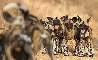 The highlight of our visit to MalaMala was an encounter with a pack of wild dogs.  There were five adults and nine pups in this pack.  Here, the pups wait their turn while the adults get together and socialize prior to the hunt.