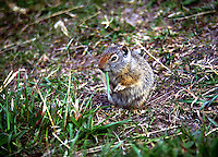 Ground Squirrel, also known as a potgut, in Northern Utah. Utah, Rest stop along I-15 in Northern Utah.