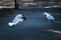 Ring-billed gulls in a confrontation with one spreading its wings and calling.  During the one or two minute dispute, one bird challenged and chased the other from one spot to another before it finally took off with its nemesis close behind.