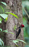 We saw a lot of these large woodpeckers on this trip.