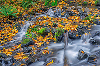 ORCG_D226 - USA, Oregon, Columbia River Gorge National Scenic Area, Starvation Creek State Park, Starvation Creek in autumn with fallen maple leaves, dark volcanic rocks, moss and ferns.