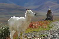 Photographer takes pictures of a dall sheep ewe along the Denali Park road, Denali National Park, Alaska.