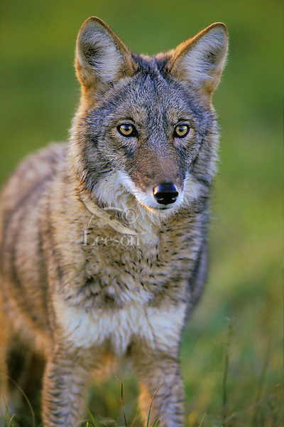 Coyote in late evening light.  Great Lakes region.  Sept.