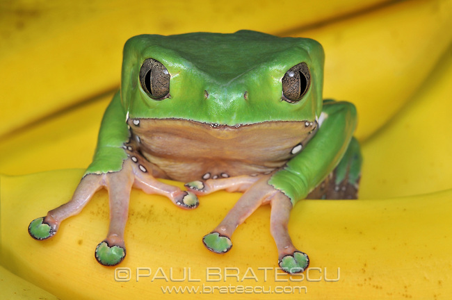 Giant Monkey Tree Frog (Phyllomedusa bicolor)