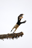 A Pied Hornbill (Anthracoceros coronatus) taken flight from a tree, Yala National Park, Sri Lanka,