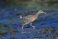 Clapper Rail, running through a salt marsh.  Fortesque, New Jersey