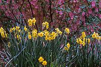 Daffodil, Narcissus 'Scarlet Gem' Heirloom flower bulb, Tazetta daffodil under Ribes sanguineum shrub