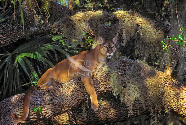 037a79c7089 Florida Panther (Felis concolor coryi) resting in tree amid Spanish moss,  oak and