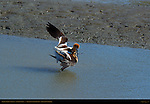 Mating American Avocets, The Look of Love, Baylands Nature Preserve, Palo Alto, California