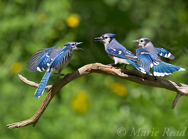 Blue Jays (Cyanocitta cristata) two fledglings begging from adult (center bird), New York, USA.<br /> (Digitally retouched image )