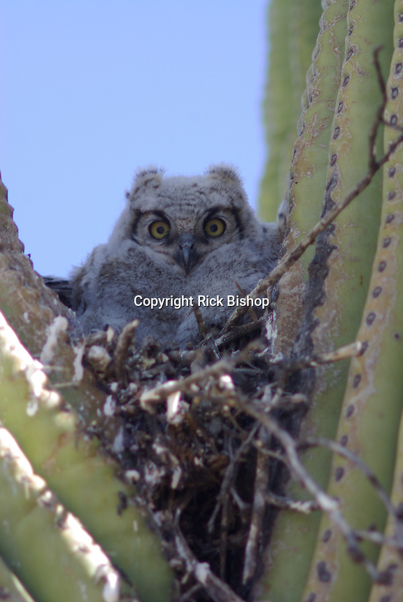 Young Great Horned Owl seen nested in a Saguaro Cactus in southern Arizona's Saguaro National Park.