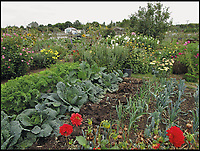 BNPS.co.uk (01202 558833)<br /> Pic: AmberlyPublishing/BNPS<br /> <br /> A rich mix of vegetables, owers and muck on a modern allotment site.<br /> <br /> These fascinating old pictures show that allotments have been a passion of the British for centuries.<br /> <br /> Today, more than 90,000 people are on waiting lists to get their own little patch of land to grow vegetables, and the pastime was just as popular in the early years of the 20th century.<br /> <br /> Garden historian and lecturer Twigs Way has sourced dozens of images of green-fingered Brits tending to their allotments during the 'allotment craze' amongst the middle classes sparked by the Allotments Act of 1908 which required councils to supply them when demanded.<br /> <br /> Families would decamp to the allotment on a Sunday and picnic among the cabbages, dividing tasks with the husband digging, the wife collecting crops and the children weeding or caterpillar picking.<br /> <br /> They grew cabbage, carrots, leeks, parsnips, beet, marrow and spinach while also staying faithful to the Victorian favourites seakale, salsify, scorzonera and asparagus.<br /> <br /> The allotments helped keep the British fed during the two world wars but fell out of favour in the 1960s and 1970s with elderly plot holders cast as villains in the battle to free up land for the housing boom.<br /> <br /> But, prompted by a desire amongst Brits to reconnect with the land, they are now in the throes of a full-scale revival.