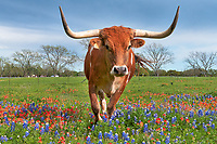 Longhorn Close Up in Wildflowers - Texas wildflower and a Longhorn close up in the Texas hill country.  We were driving the back roads and there was this small herd near Johnson City in a area with bluebonnets and indian paintbrush and this steer came in close to get a better look at us thankfully he was in the wildflowers.  He actually hung around for a while giving several poses while there. This longhorn seem slightly interested in what we were doing  and wanted to get a better look before he meander away as all the other had done before him but he did posed for a few shots first standing in these texas lupines and paintbrush wildflowers.  As they all did after a short time he was moving on for greener grass away from our pesky camera. I think he was looking for a little cow candy but we didn't have any so he lost interest pretty quick.  We have come to love these longhorn cattle with these big impressive horns and when we can capture them in a field of texas wildflowers it is even better.