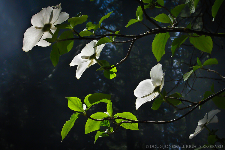 Pacific Dogwoods surround our home in the Central Sierra Nevada.  In this photo, the smoke of burning pine needles provided an ideal background for these four spring blooms.