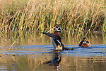 Drake wood duck flapping wings