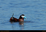 Ruddy Duck, Male, Drake, Sepulveda Wildlife Refuge, Southern California