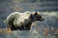 A brown bear surveys an area of tundra in Denali National Park in central Alaska.