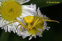 0903-06vv Crab spider - Thomisidae Genus - © David Kuhn/Dwight Kuhn Photography