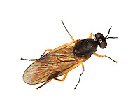 beris clavipes<br /> a soldier fly