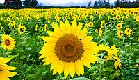 Hokkaido Furano Sunflowers