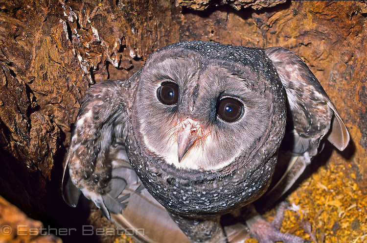 Sooty Owl (Tyto tenebricosa) roosting inside hollow log. Tall forests of southeastern Australia. . Threatened species