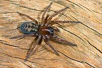 Fensterspinne, Finsterspinne, Callobius claustrarius, Amaurobius claustrarius, Finsterspinnen, Fensterspinnen, Amaurobiidae