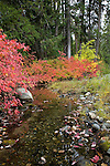 Fall along Icicle Creek in the Wenatchee National Forest near leavenworth, Washington.  Location is along the Icicle Gorge Trail.  Red color is red osier dogwood.  Yellow color is douglas maple.