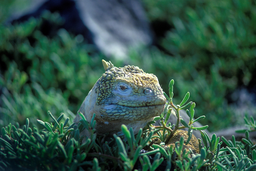 Land Iguana - Galapagos islands are large (over 1 meter long), yellowish animals, with males weighing up to 13 kilograms. Galapagos iguanas are thought to have had a common ancestor which floated out to the islands from the South American mainland on rafts of vegetation (GFC, 2008)