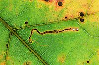 Oak Leaf closeup; Quercus; leaf miner track; PA, Philadelphia