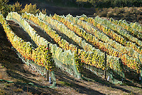 A wine grape vineyard with netting in place to protect the ripe grapes from birds.