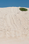 Las Bachas Beach, Santa Cruz Island, Galapagos, Ecuador; sea turtle tracks leading from the water up the sand dunes to the nesting sites , Copyright © Matthew Meier, matthewmeierphoto.com All Rights Reserved