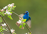 Indigo Bunting (Passerina cyanea), male fluttering wings while perched amid apple blossom in spring, Freeville, NY, USA. (Space added at top of frame)