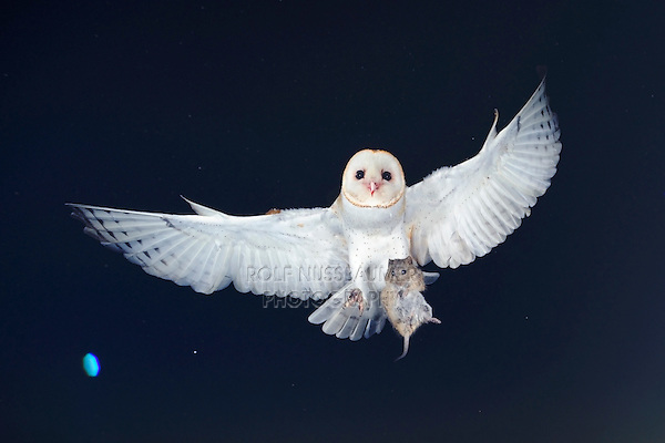 Barn Owl (Tyto alba), adult in flight with mouse prey, Dinero, Lake Corpus Christi, South Texas, USA
