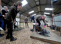 Kate Duchess of Cambridge Katherine Catherine Middleton and Prince William Duke of Cambridge taking part in sheep shearing with Jack Cartmel during a visit to Deepdale Hall Farm, a traditional fell sheep farm, in Patterdale, Cumbria. Photo Credit: ALPR/AdMedia