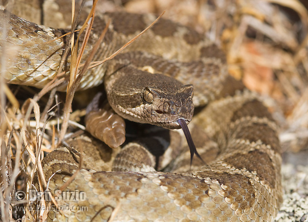 "Northern Pacific rattlesnake, Crotalus viridis oreganus, in a defensive posture, flicks out its tongue to ""taste"" the air with its Jacobson's organ. The snake's heat-sensing pit is visible below and in front of the eye. Mount Diablo State Park, California"
