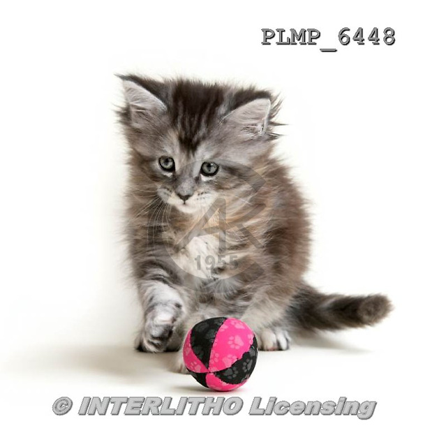 Marek, ANIMALS, REALISTISCHE TIERE, ANIMALES REALISTICOS, cats, photos+++++,PLMP6448,#a#