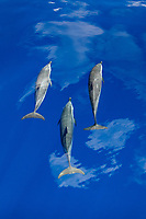 pantropical spotted dolphins, Stenella attenuata, Chichi-jima, Bonin Islands, Ogasawara Islands, Natural World Heritage Site, Tokyo, Japan, Pacific Ocean