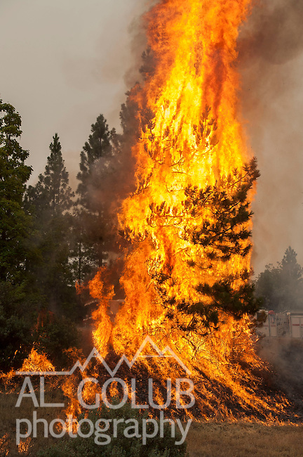 -- Rim Fire- Tree flares up on Highway 120.