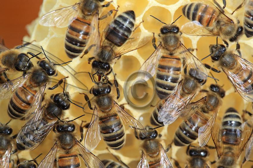 Bees on recently produced wax. The bee is the only insect that produces:constructs its own habitat. The wax is produced by the bees' wax glands that transform the honey into fat. Bees need 8 kilos of honey to produce one kilo of honey.///Des abeilles sur de la cire récemment produite. L'abeille est le seul insecte qui produit son habitat. La cire est produite par les glandes cirières des abeilles qui transforment ainsi le miel en graisse. Il faut 8 kilo de miel pour produire un kilo de cire.