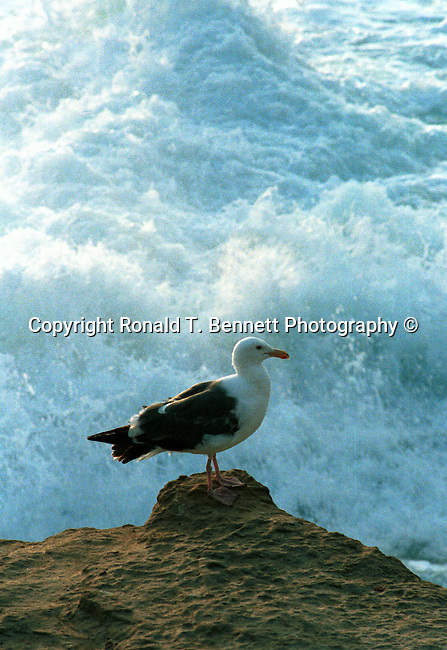 Seagull over looking large ocean wave, Gulls, seagulls, disambiguation, laridae, genus larus, polyphyletic, large birds, laridae, mobbing behaviour,  Fine Art Photography, Ronald T. Bennett (c) Fine Art Photography by Ron Bennett, Fine Art, Fine Art photography, Art Photography, Copyright RonBennettPhotography.com ©