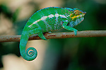 Panther Chameleon walking along a stick in Nose' Komba, Madagascar.