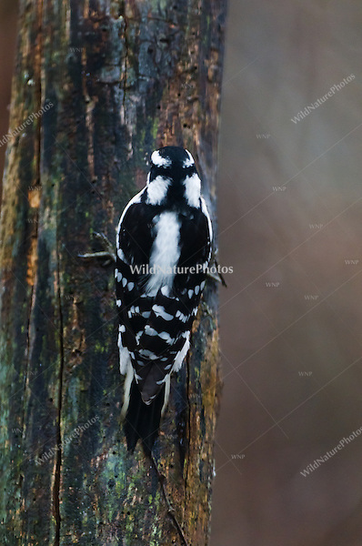 Downy Woodpecker (Picoides pubescens), female, showing identification markings from behind, foraging on a dead stump. Michigan.