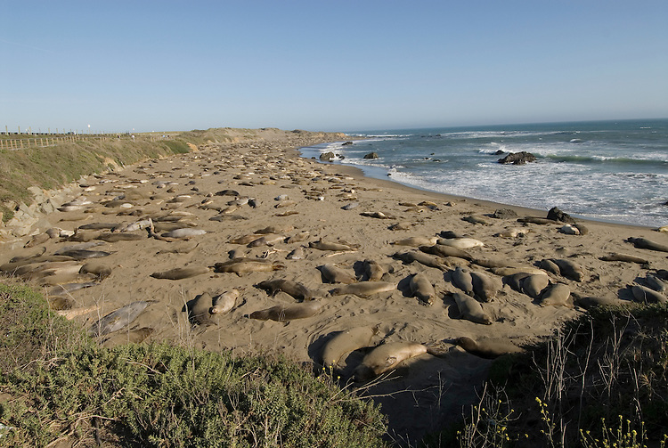 California, San Luis Obispo County:  Elephant Seals gather at Piedras Blancas beach..Photo caluis189-70988..Photo copyright Lee Foster, www.fostertravel.com, 510-549-2202, lee@fostertravel.com