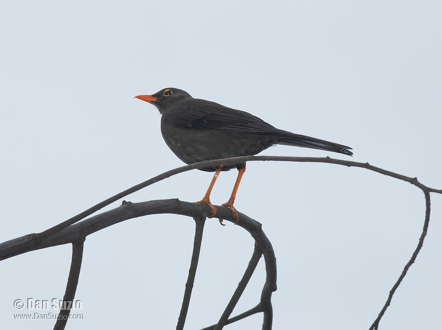 Great thrush, Turdus fuscater, perched in a tree at San Jorge Eco-Lodge, Quito, Ecuador
