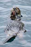 Southern Southern sea otter, Enhydra lutris nereis, feeding, Monterey, California, USA, Pacific Ocean