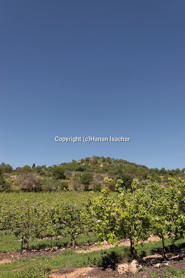 Israel, Jerusalem Mountains. Vineyard at the foothill of Mount Tzuba
