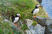 Atlantic Puffins (Fratercula arctica) in breeding plumage, summer, stand outside burrow. These North Atlantic seabirds come to land every year for about 4 months to breed and raise their young on grassy cliffs and offshore islands, here along the eastern coast of Newfoundland, Newfoundland and Labrador, Canada.