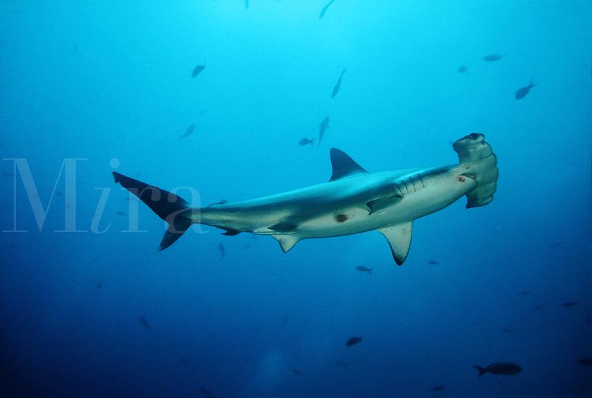 SCALLOPED HAMMERHEAD SHARK Sphyrna lewini GALAPAGOS ISLANDS. predator dangerous menacing deadly hazardous cartilaginous horizontal underwater Galapagos islands Schooling underwater Equador sharks